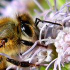 Органы чувств насекомых - Пчела «нюхает» цветок
