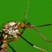 Органы слуха у насекомых - У комаров орган слуха </p>расположен на усиках