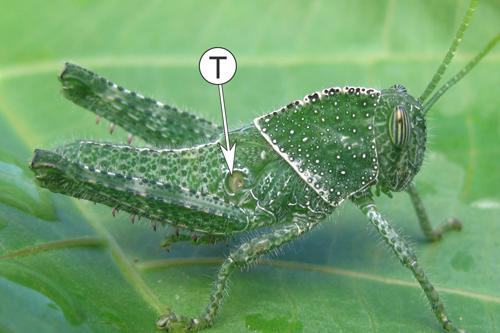 Органы слуха у насекомых - Тимпанальный орган