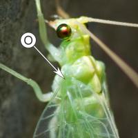 Органы слуха у насекомых - Орган слуха у сетчатокрылых