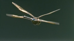 Полет насекомых - Взаимодействие крыльев в полете