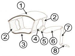 Грудь насекомых - Схема строения грудного сегмента насекомого