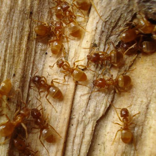Головной мозг насекомых - Рабочие муравьи Lasius umbratus
