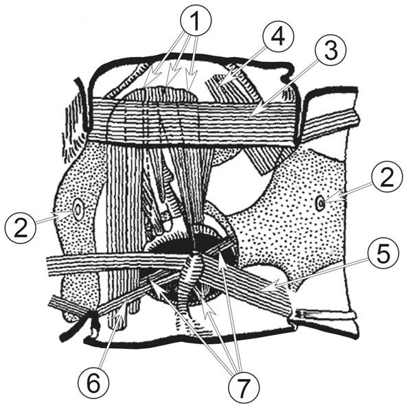Мышечная система насекомых - Схема строения мышечной системы.</p> Сегмент заднегруди.