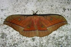 Мышечная система насекомых - Дубовый шелкопряд