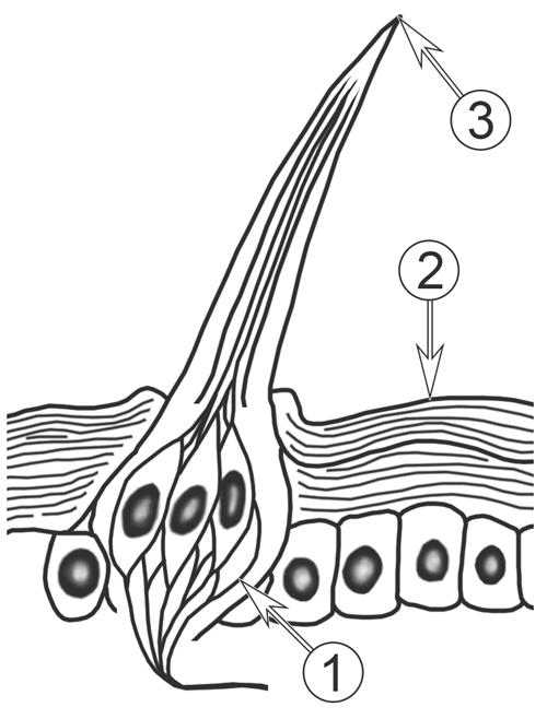 Органы химического чувства: обоняние и вкус у насекомых - Вкусовая сенсилла