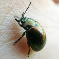 Органы химического чувства: обоняние и вкус у насекомых - Листоед зверобойный – «любитель ядов»