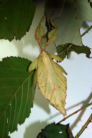 Поведение насекомых - Палочник – насекомое с </p>отрицательным геотропизмом