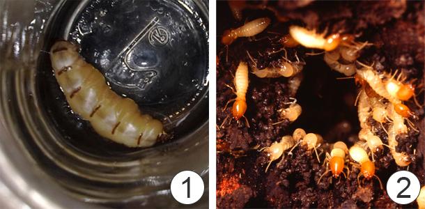 Поведение общественных насекомых - Термиты
