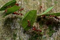 Поведение общественных насекомых - Муравьи-листорезы