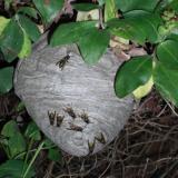 Поведение общественных насекомых - Осиное гнездо