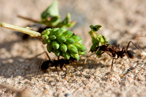 Внутреннее строение насекомых - Муравей – одно из</p> самых сильных насекомых