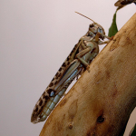 Внутреннее строение насекомых - Пустынная саранча – рекордсмен </p>по количеству мальпигиевых сосудов