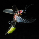 Внутреннее строение насекомых - Орган свечения у светлячка