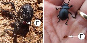 Внутреннее строение насекомых - Выделение гемолимфы как защитный механизм