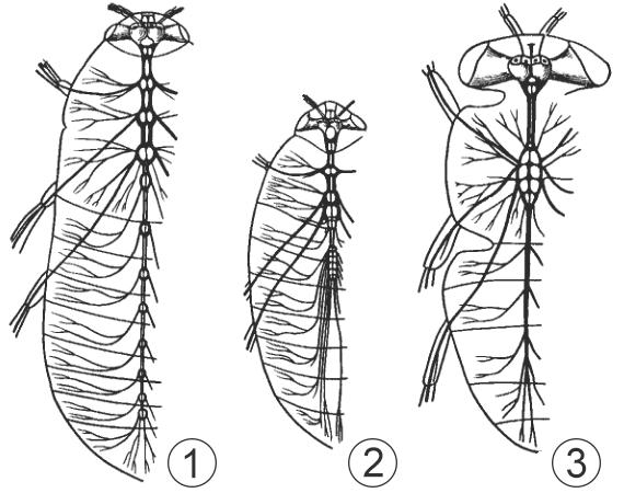 Внутреннее строение насекомых - Строение нервной системы </p>у разных насекомых