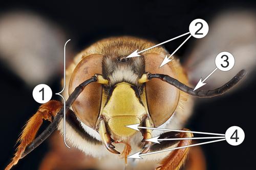Внутреннее строение насекомых - Пример расположения органов </p>чувств на голове пчелы