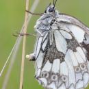 Женская половая система насекомых - Откладка яиц у бабочки
