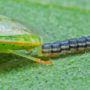 Женская половая система насекомых - Откладка яиц у клопа