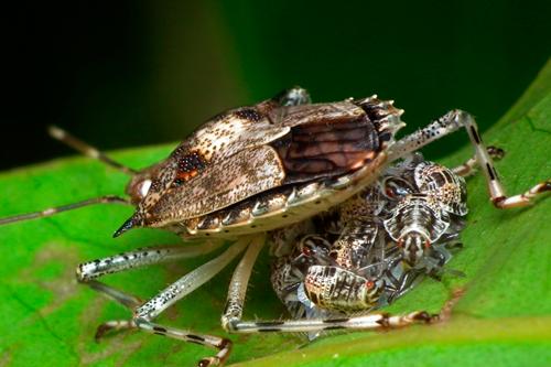 Женская половая система насекомых - Живородящий клоп