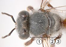 Заднегрудь - Особенности строения заднегруди у пчелы