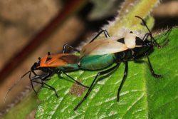 Половая система насекомых. Размножение - Пример полового диморфизма у клопов