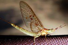 Половая система насекомых. Размножение - Ephemeroptera – насекомые с примитивным </p>строением полового аппарата