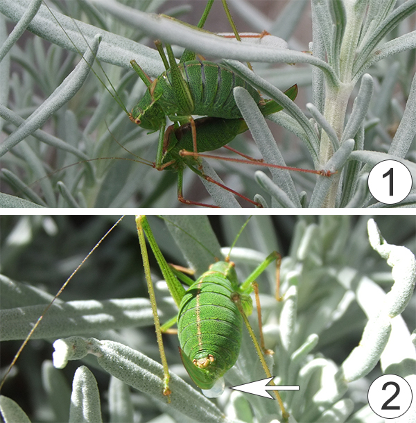 Половая система насекомых. Размножение - Передача сперматофора у </p>Leptophyes punctatissima