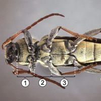 Среднегрудь - Внешнее строение и топография</p>среднегруди насекомых