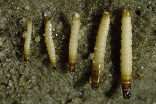Проволочники - Личинки проволочника </p>разных возрастов