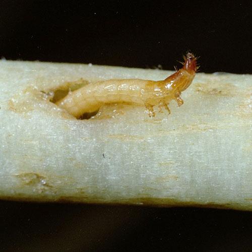 Проволочники - Conoderus vespertinus –</p> вредитель табака