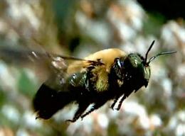 Полет насекомых - Пчела в полете