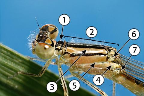 Птероторакс - Типичный птероторакс у совершенного летуна - стрекозы