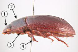 Переднегрудка - Строение переднегрудки насекомых