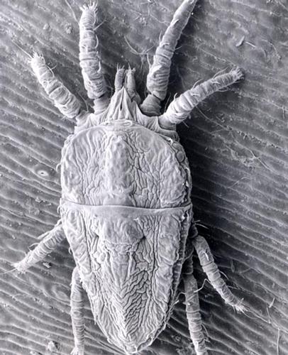 Вредители - Цитрусовый плоский клещ