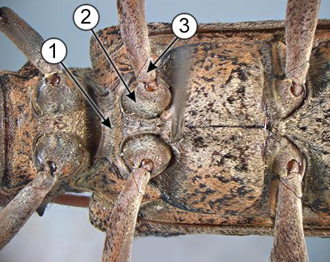 Тазик - Брюшная поверхность тела насекомого.</p>Тазик
