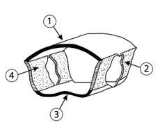 Плейрит - Кутикулярное кольцо груди насекомых