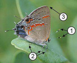 Апикальный - Понятие «апикальный» на примере строения бабочки