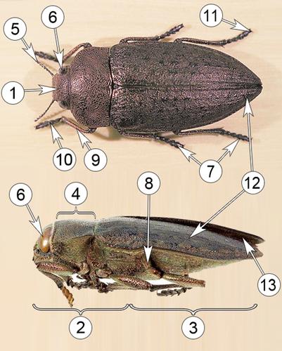Златки - Морфология Златка медная </p>(Perotis lugubris)