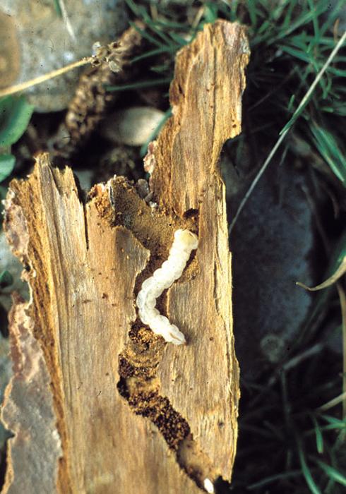 Златки - Личинка Златки синей</p> сосновой (Phaenops cyanea)