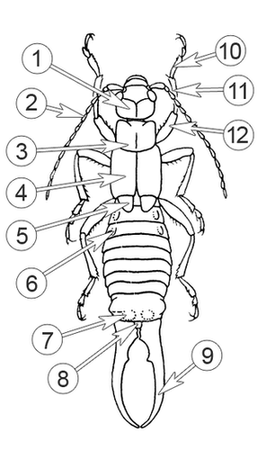 Уховертки - Морфологическое строение самца</p> Уховертки обыкновенной