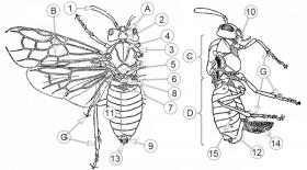 Пилильщики настоящие - Морфологическое строение имаго </p>самки Розанного пилильщика