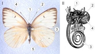 Белянки - Морфология бабочек семейства Белянки