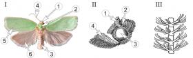 Листовертки - Морфология бабочек<p> семейства Листовертки