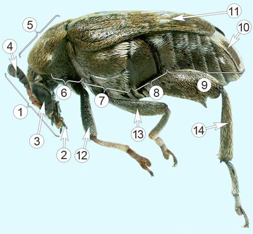 Зерновки - Морфологическое строение  </p>Зерновки гороховой