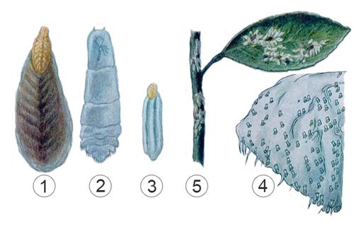 Щитовки - Внешнее строение Восточной </p>цитрусовой щитовки
