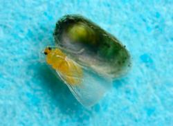 Щитовки - Самец щитовки</p> Dynaspidiotus californica