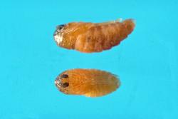 Галлицы - Куколка галлицы </p><em>Cecidomyia bisetosa </em>