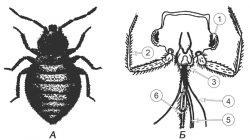 Клопы постельные - Постельный клоп Cimex lectularius