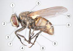 Мухи настоящие - Внешнее строение имаго Комнатной мухи
